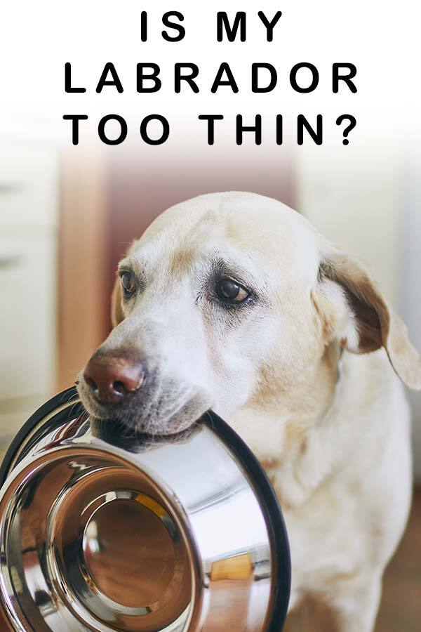 is my labrador too thin