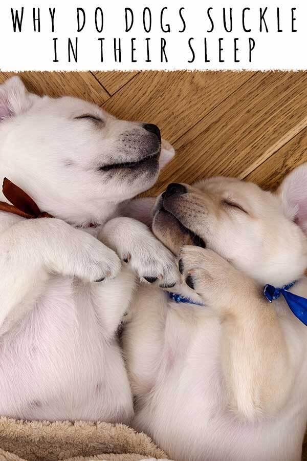 why do dogs suckle in their sleep
