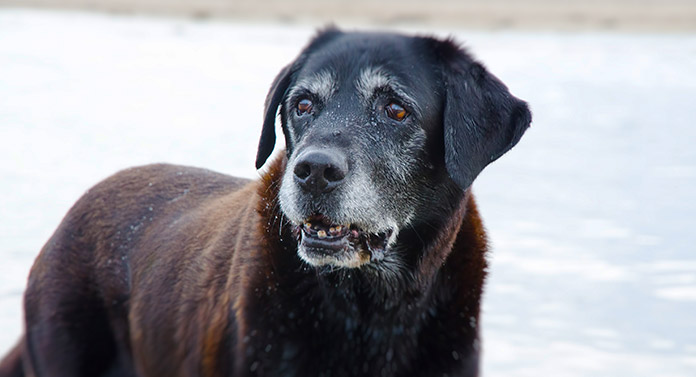 why do black labs have white on them