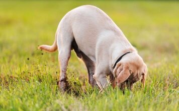 why do labradors dig holes