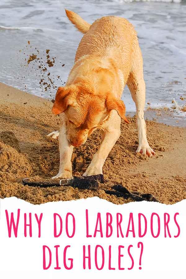 why do labradors dig holes
