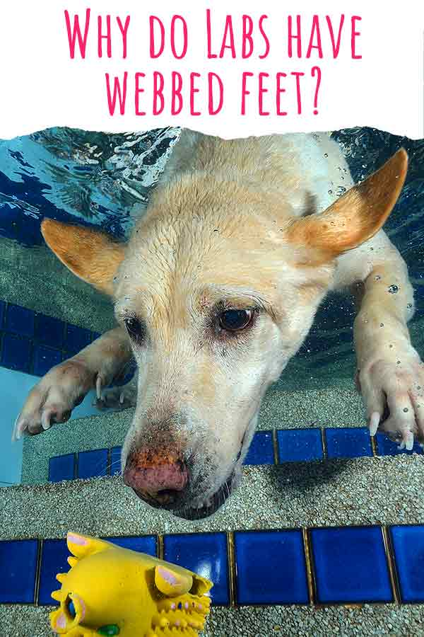 why do labs have webbed feet