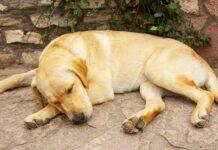 can labradors sleep outside
