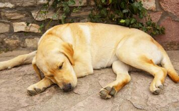 can labradors sleep outside