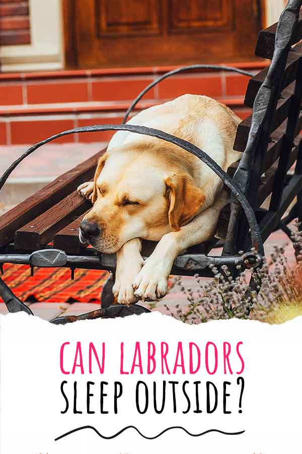 can labradors live outside