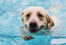 can labradors swim