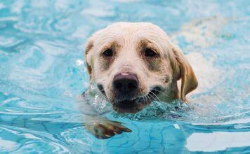 can labradors swim