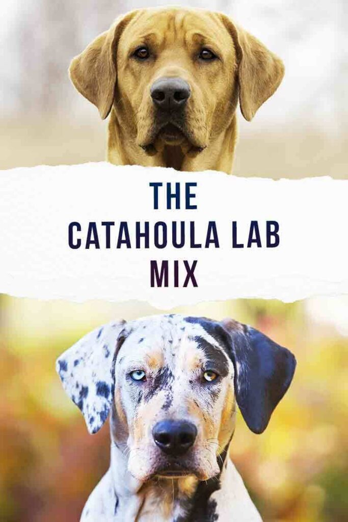 catahoula lab mix