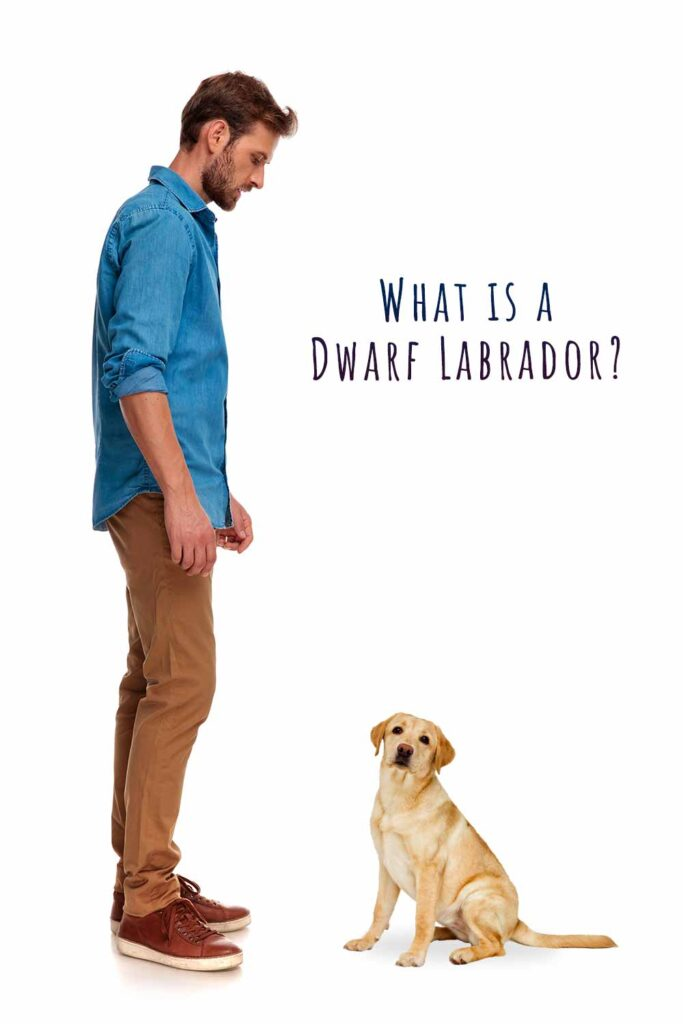 dwarf labrador