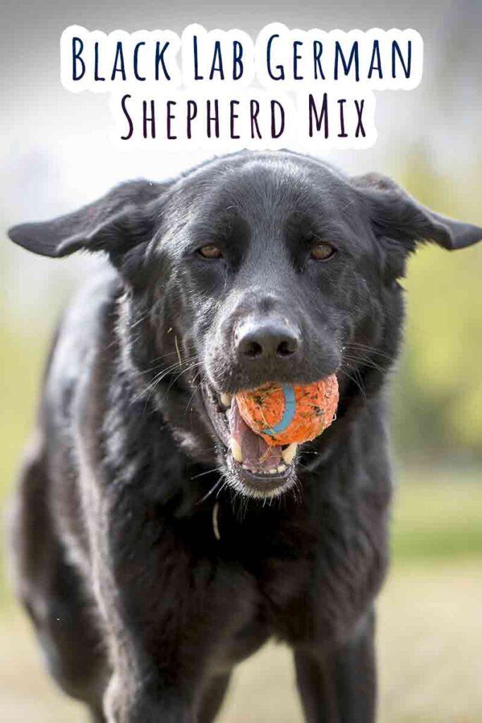 black lab german shepherd mix