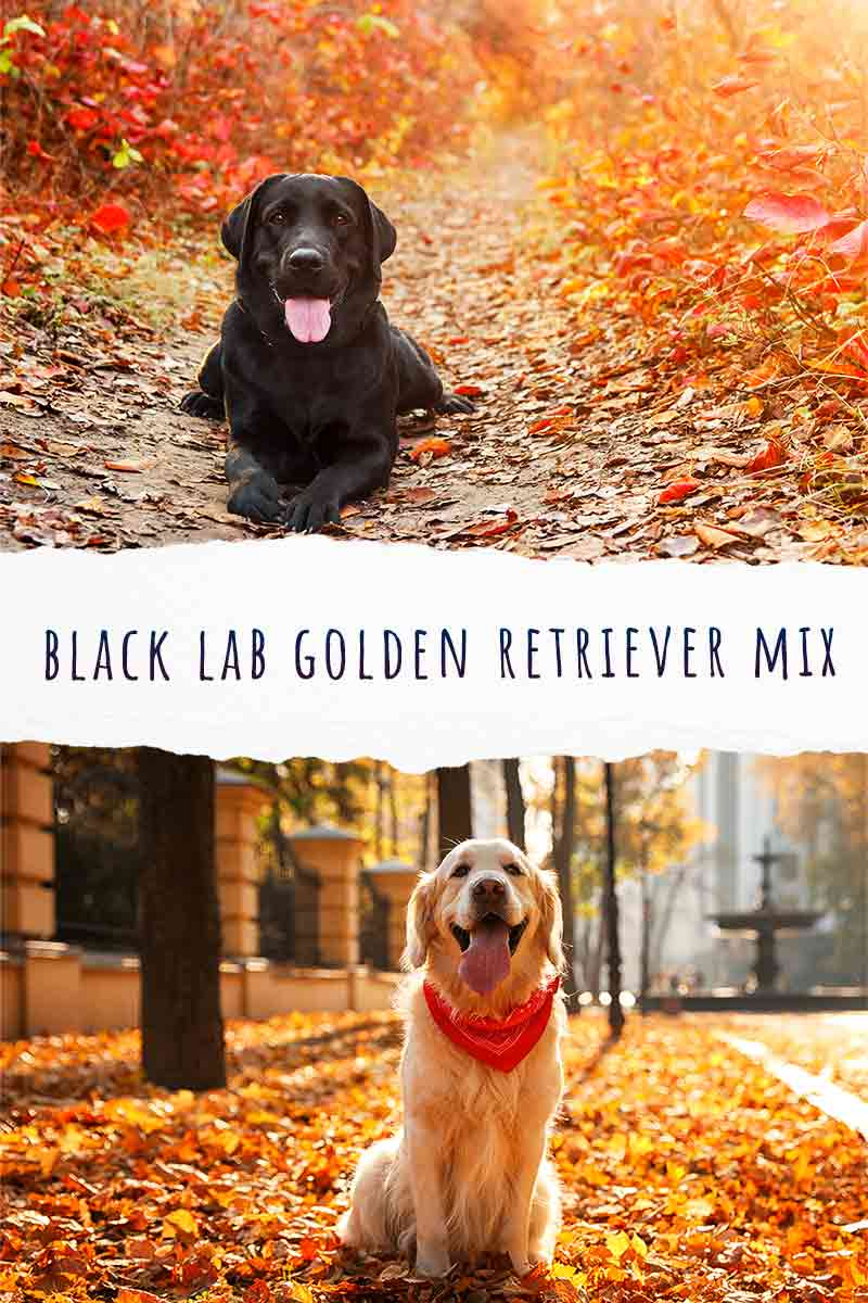 black lab golden retriever mix