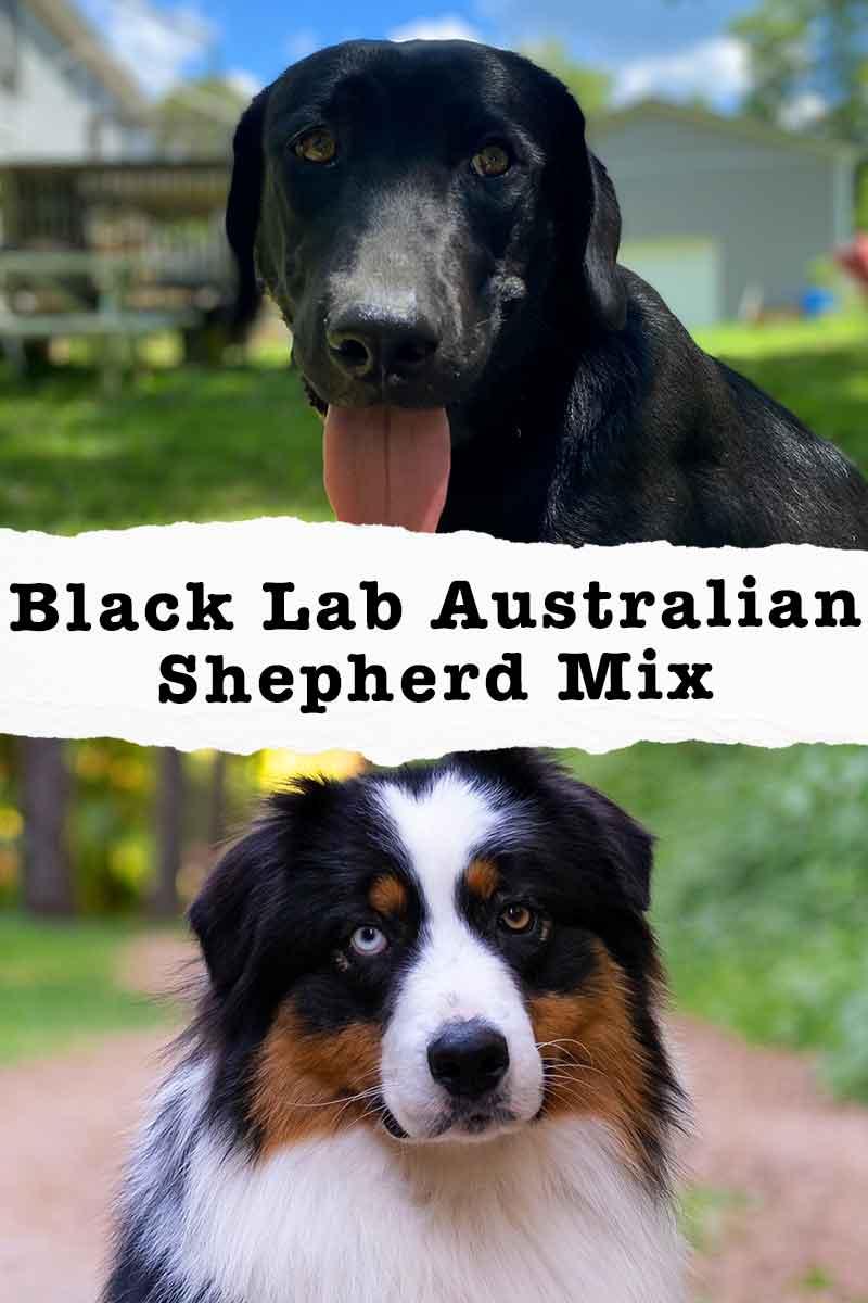black lab australian shepherd mix