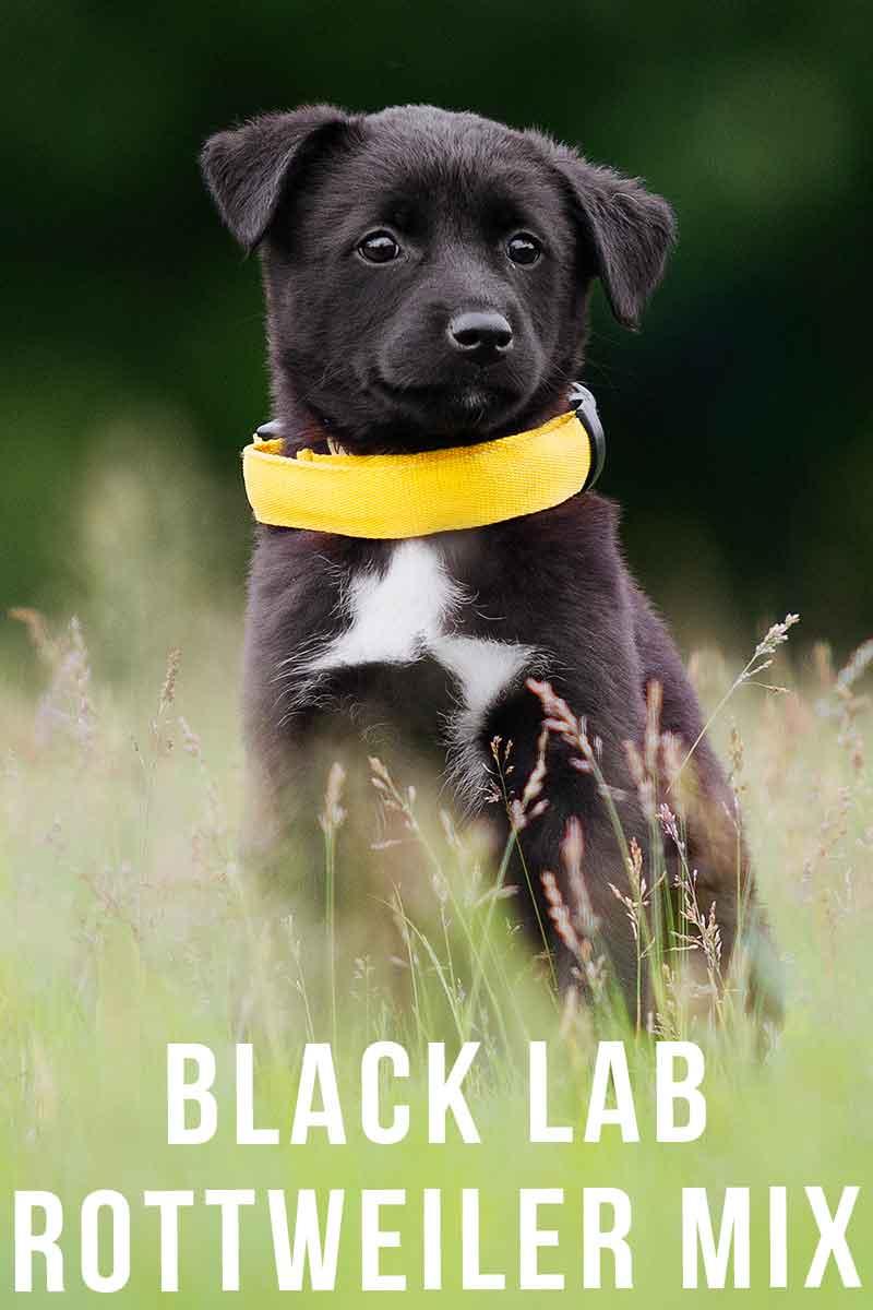 black lab rottweiler mix