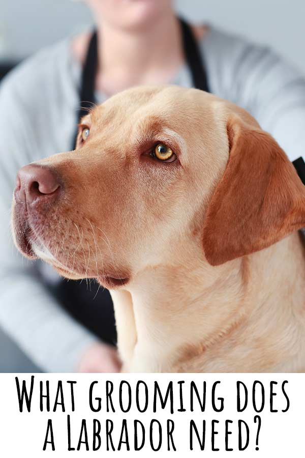 what grooming does a labrador need