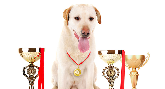what is a champion bloodline dog