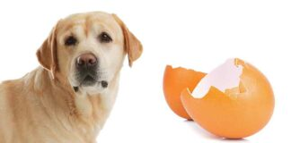 can dogs eat egg shell?