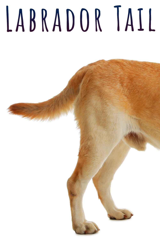 labrador tail